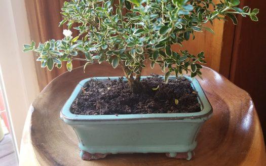 Jill's Bonsai Tree