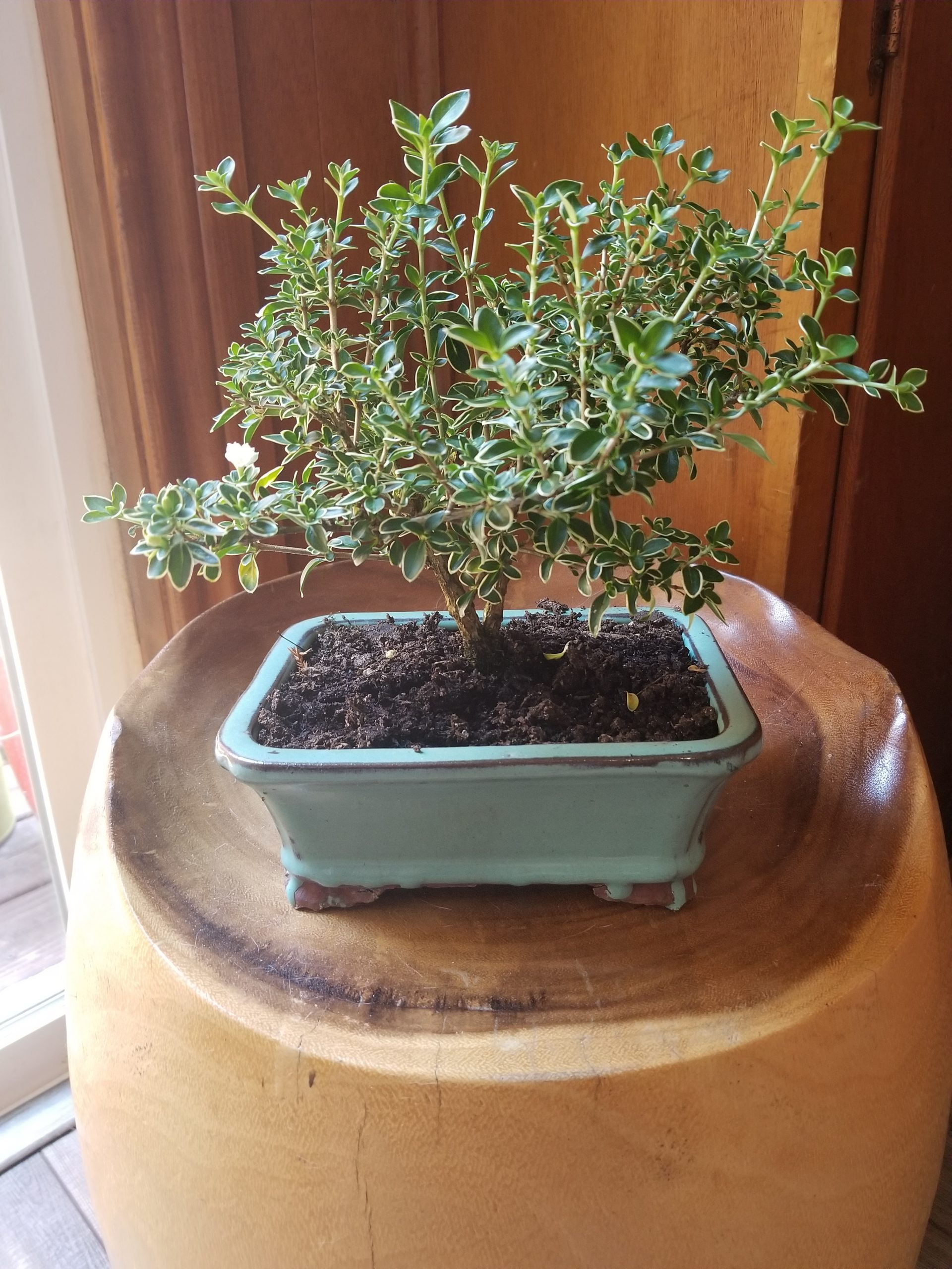 Jill's Bonsai Tree